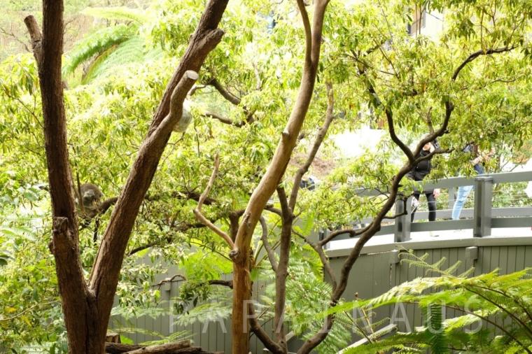 螺旋状でコアラが360度どこからでも見れる