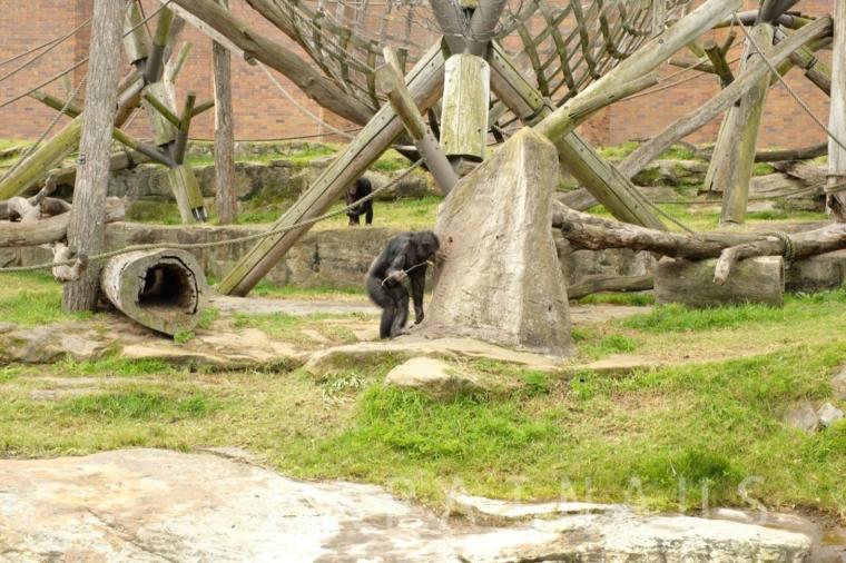 木の枝を穴に出し入れし続けるチンパンジー