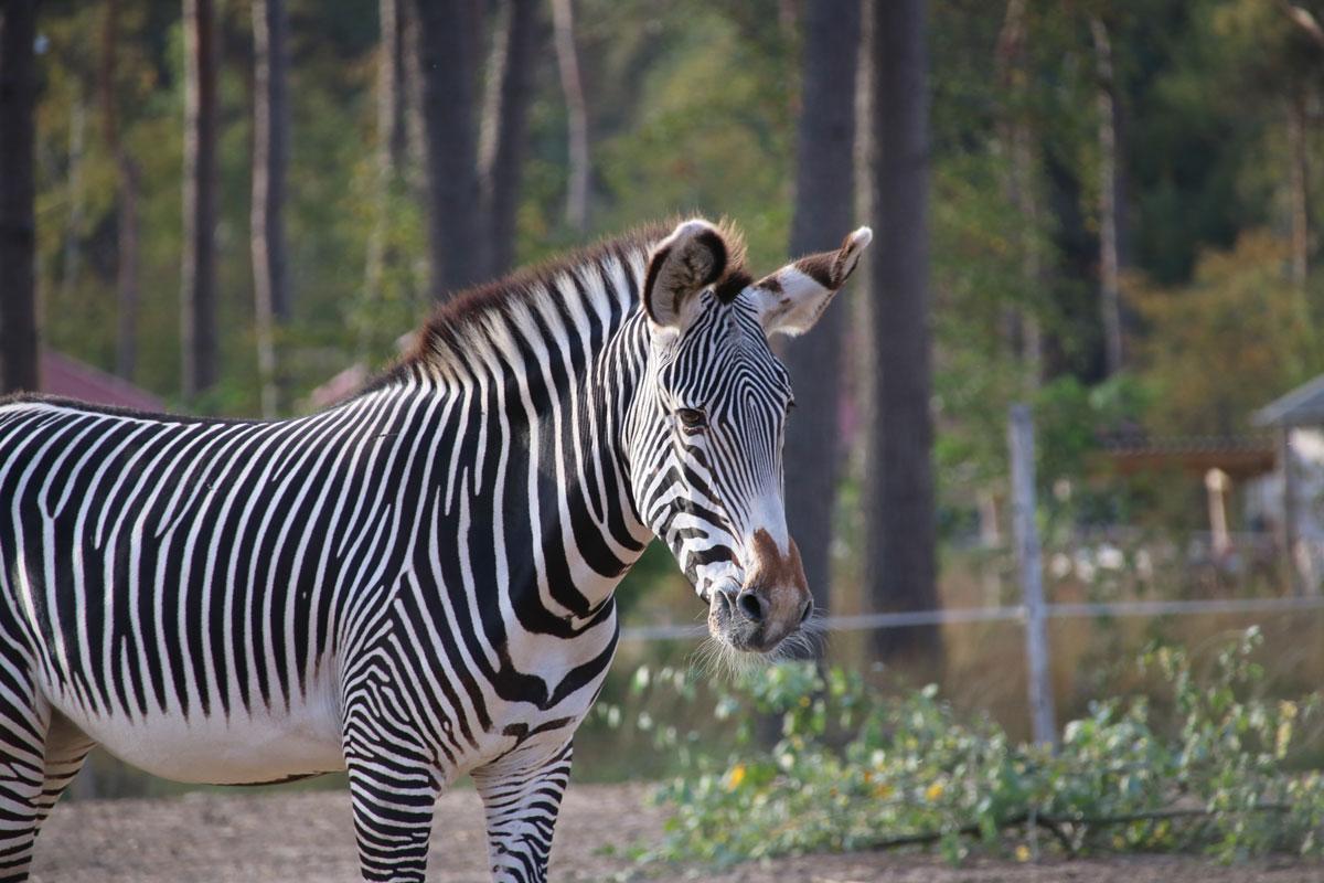 Zebra Safaripark Beekse Bergen