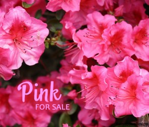 pink Paparazzi facebook album cover image