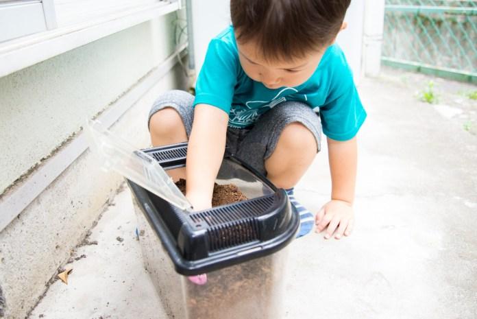 3歳、初めてのカブトムシの飼育(成虫編) 土からカブトムシを取り出す息子