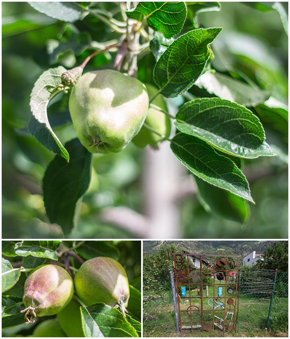 Apples growing