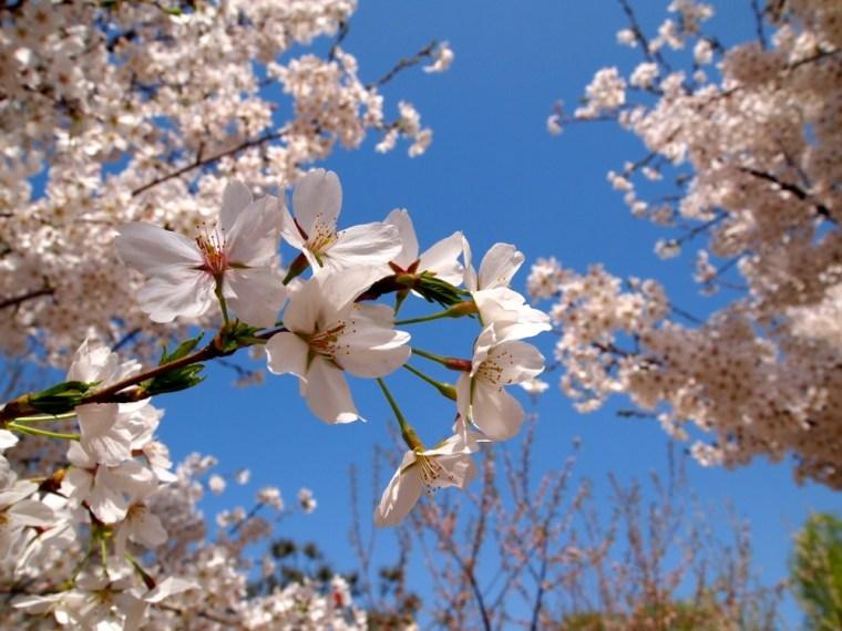 Blossom, Beijing