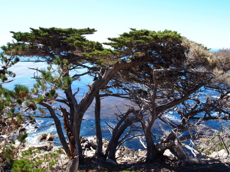 Cypress Tree 17 Mile Drive