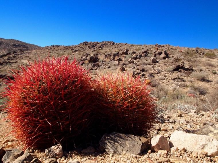 Cactus Joshua Tree National Park
