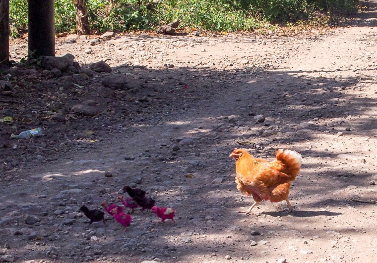 Chicken Crossing The Road Ometepe