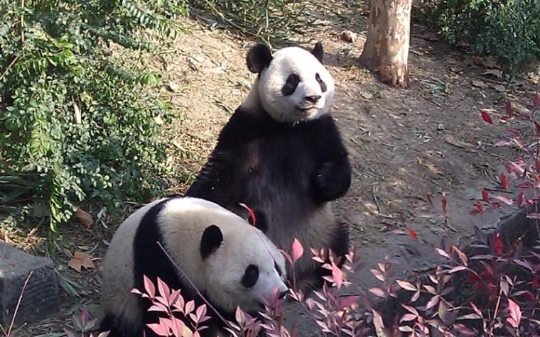 Seeing the Chengdu Pandas China