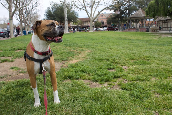 A Dog-Friendly Day in Solvang, California