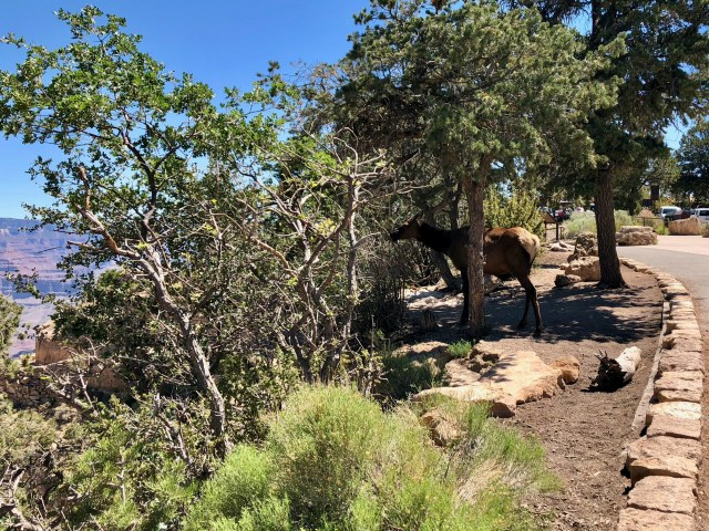 Grand Canyon Bright Angel trail elk