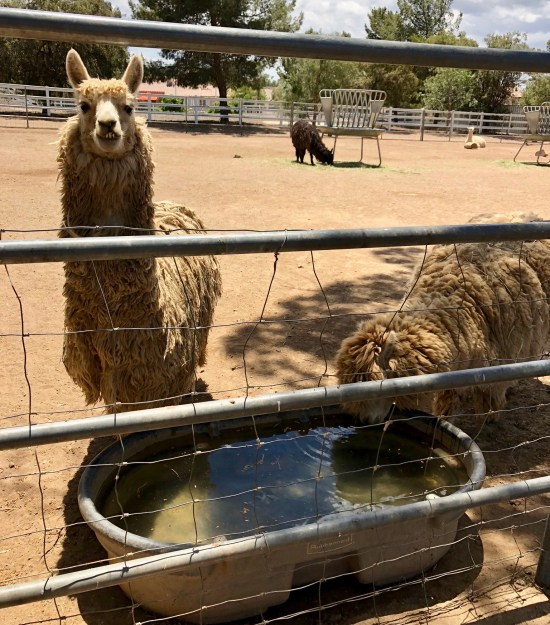 Agua Dulce Winery California llamas