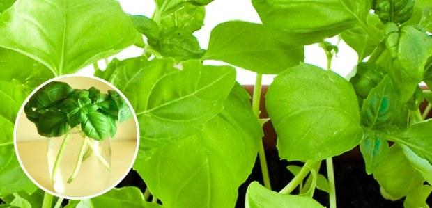 regrow basil free cheap