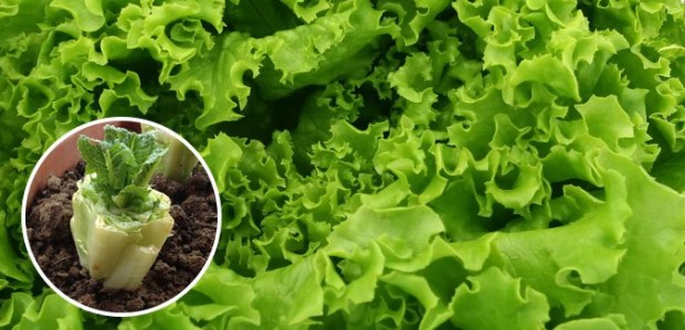 regrow lettuce free cheap