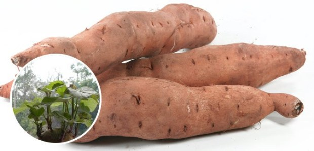 regrow sweet potato free cheap