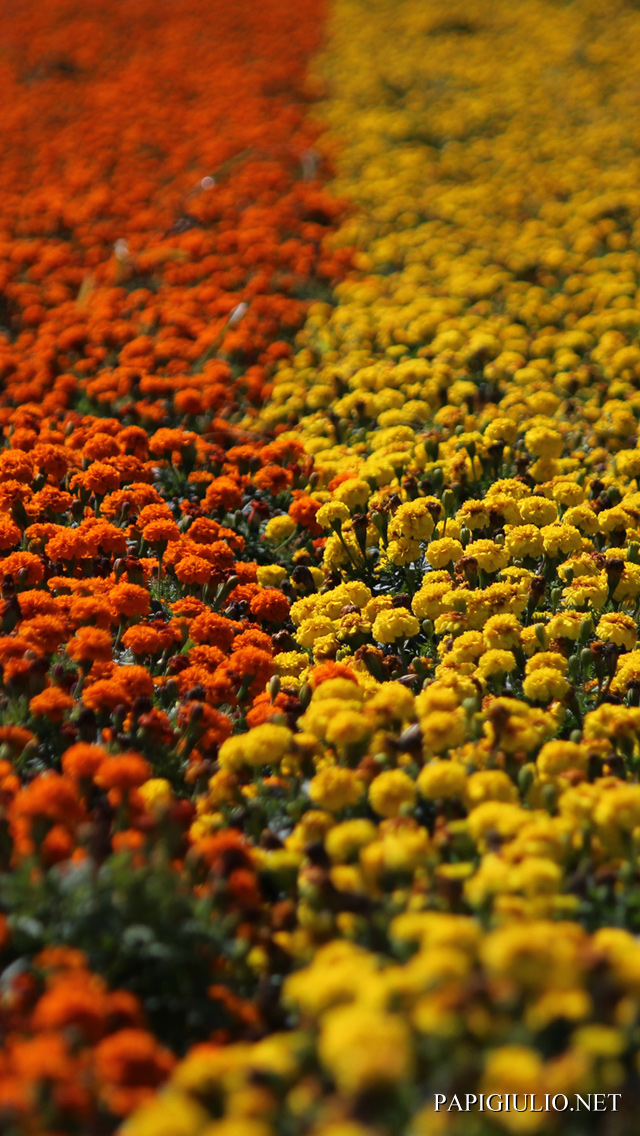 Free Japanese iPhone wallpaper download Hokkaido Flowers 3