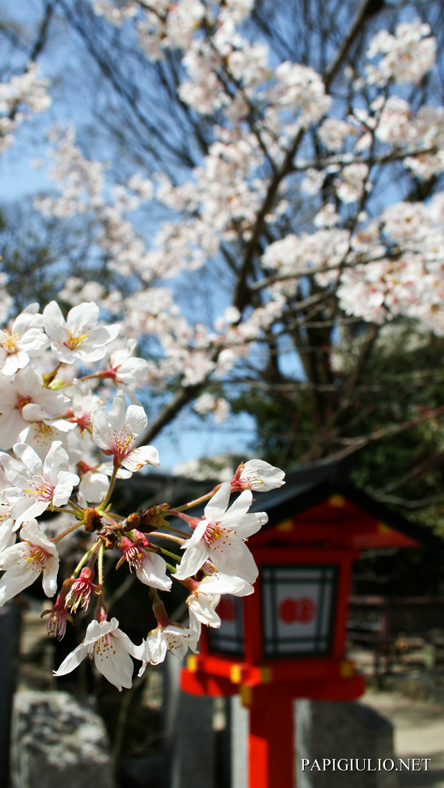 Free Japanese iPhone wallpaper download Kyoto Sakura