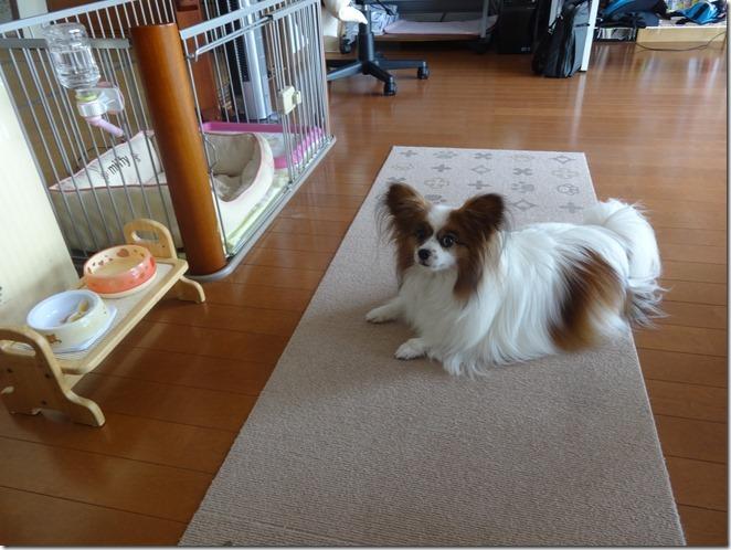 子どもにも優しい小型犬パピヨンのアリアの伏せポーズ