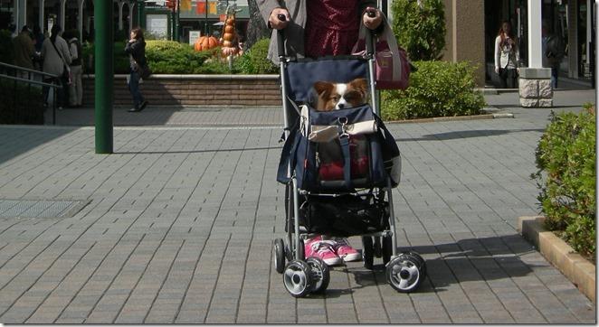 愛犬パピヨンのアリアが乗るカートは高い位置にある