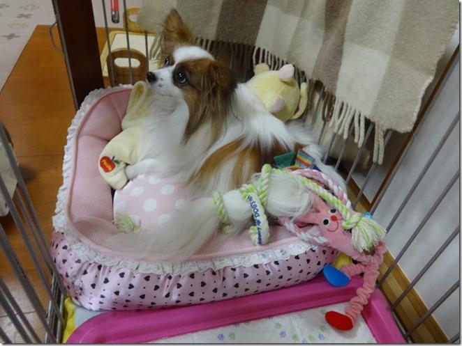 輪っかの付いたおもちゃを尻尾に付けられた愛犬パピヨンのアリア
