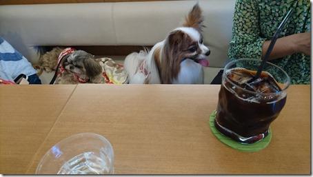 東京町田のドッグカフェプティシアン店内でまったりする愛犬パピヨンのアリアとはなちゃん