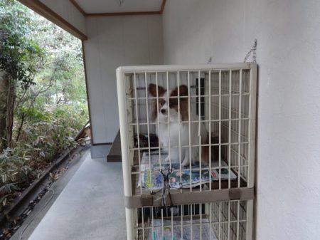 ケージの中に入れられた我が家の愛犬パピヨンのアリア