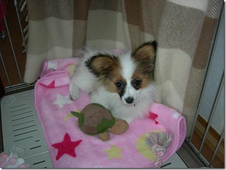 産まれてまだ数ヶ月の頃の愛犬パピヨンのアリア