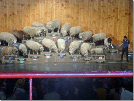 ペット(犬)と遊べる千葉県のマザー牧場の羊の毛刈りショー