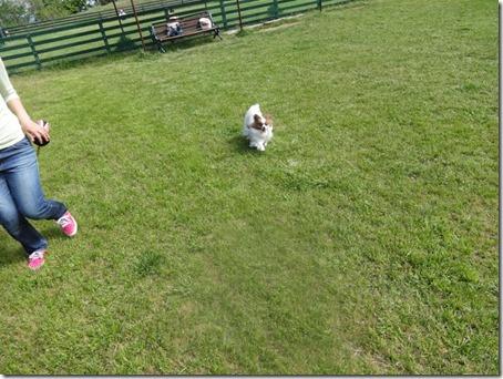ペット(犬)と遊べる千葉県のマザー牧場のドッグランで躍動する愛犬パピヨンのアリア