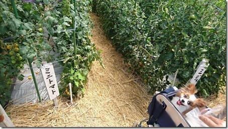 北軽井沢のペットと野菜果物狩りできる石田観光農園のトマト畑