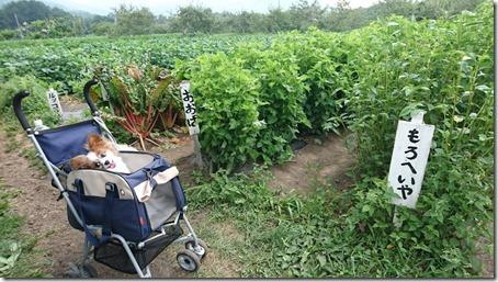 北軽井沢のペットと野菜果物狩りできる石田観光農園のモロヘイヤとオオバとルッコラ