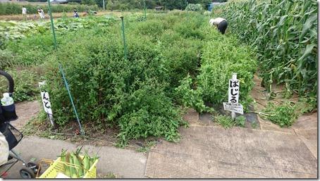 北軽井沢のペットと野菜果物狩りできる石田観光農園のバジルとミント