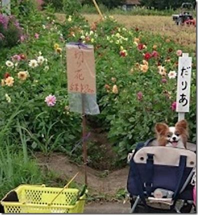 北軽井沢のペットと野菜果物狩りできる石田観光農園のダリアと愛犬パピヨンのアリア
