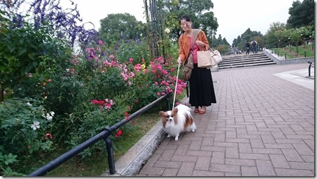 山下公園を散策する愛犬パピヨンのアリアとママ
