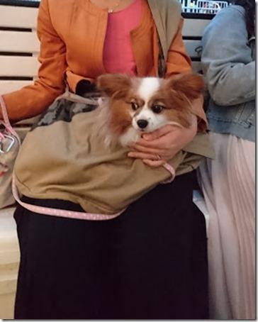 スリングバッグにおとなしく入ってシーバスに乗船する愛犬パピヨンのアリア