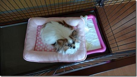ベッドをトイレの上にずらした我が家の愛犬パピヨンのアリア