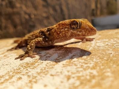 Chondrodactylus bibronii / Bibron's gecko