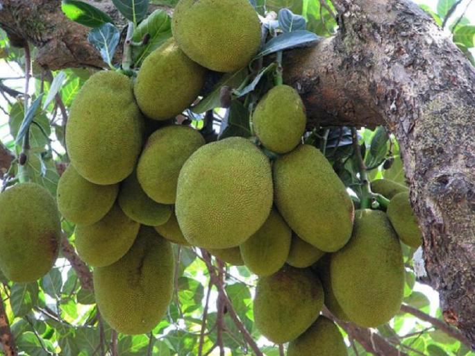 National fruit of Bangladesh-Jackfruit