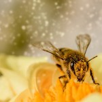 The hidden health benefits of bee pollen