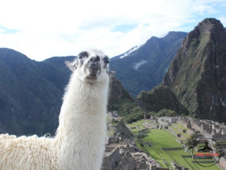 Llama in Machu Picchu city