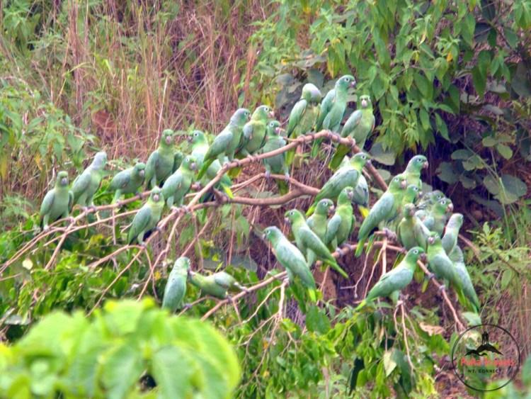 Parrots Tambopata