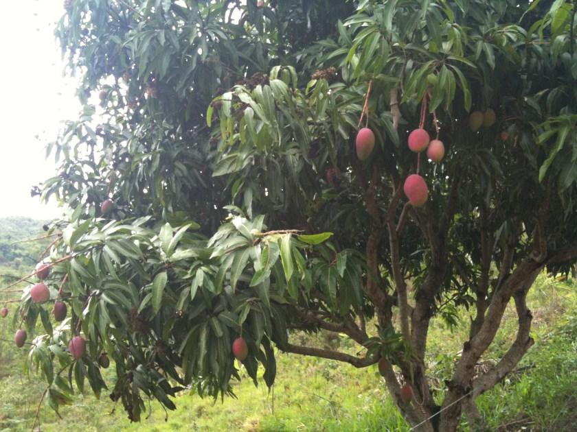 Baum mit reifen Mangos