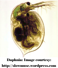 Individual daphnia are tiny, but in clouds they provide a significant food source to fish.