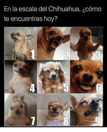 Memes chihuahua escala