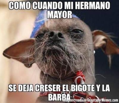 Memes chihuahuas bigote