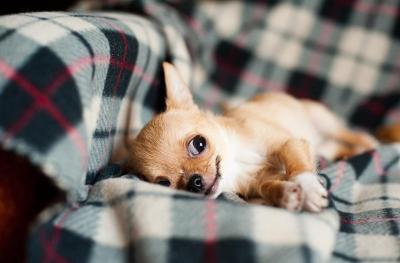 imagenes de perros chihuahua 10