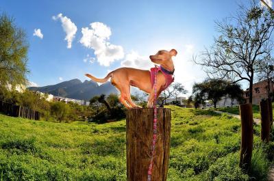 imagenes de perros chihuahua 13