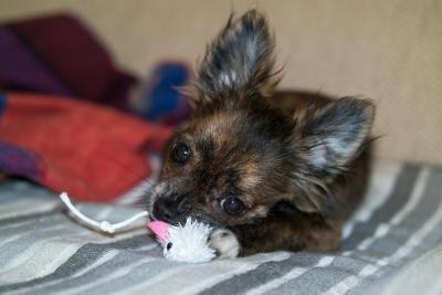 imagenes de perros chihuahua 14