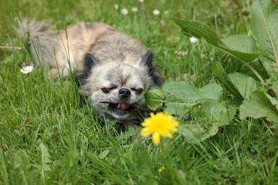 imagenes de perros chihuahua 24