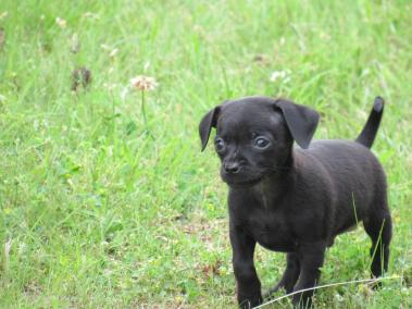 imagenes de perros chihuahua 30