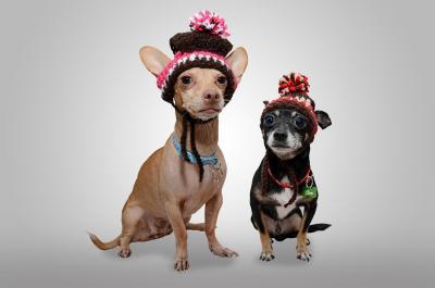 imagenes de perros chihuahua 7
