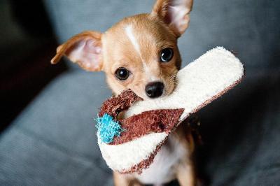 imagenes de perros chihuahua 8